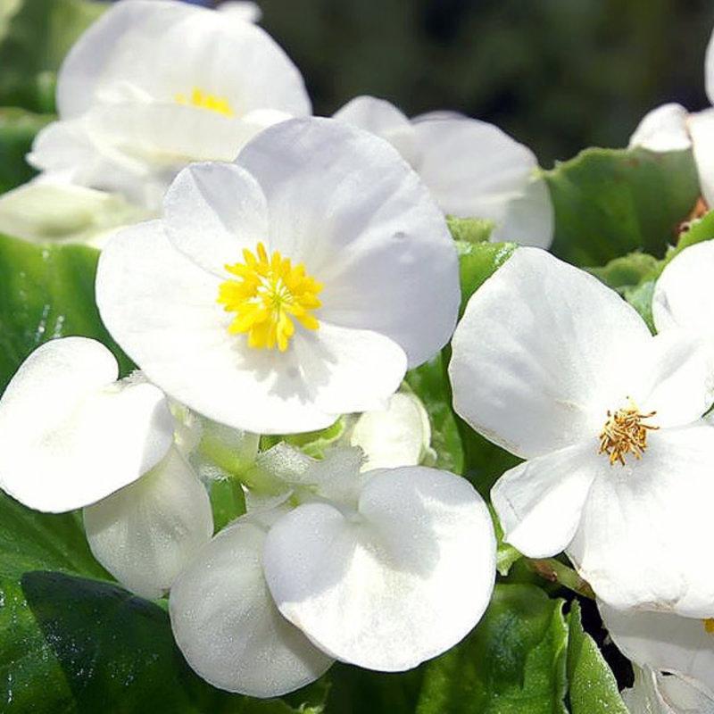 Begonia Olympia White 4 Pack