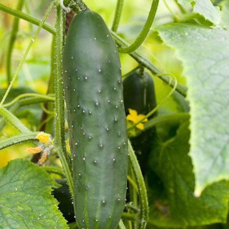 Cucumber Bush 4 Pack
