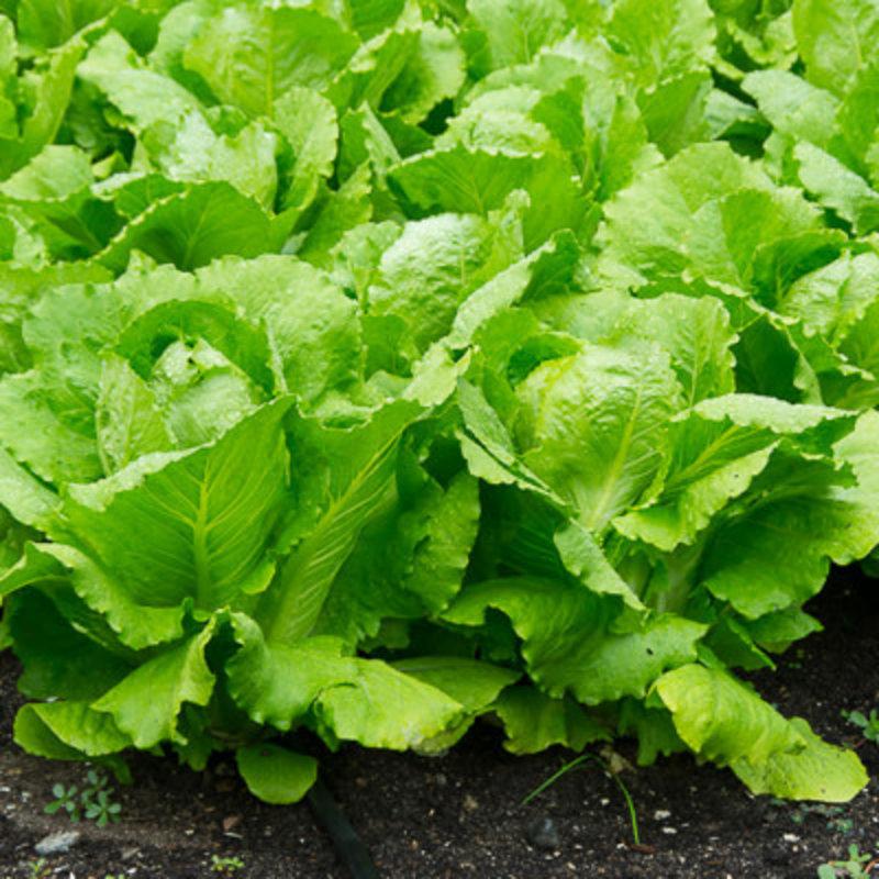 Lettuce Romaine 4 Pack