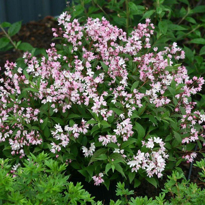 Deutzia Yuki Cherry Blossom 3