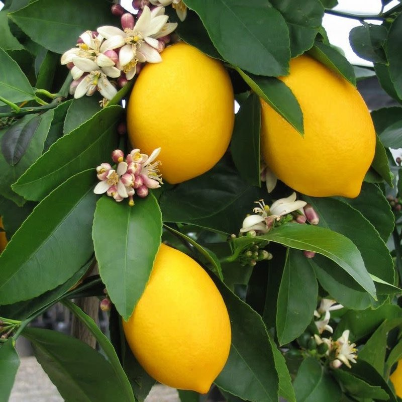 Citrus, Meyer Lemon 3 Gal