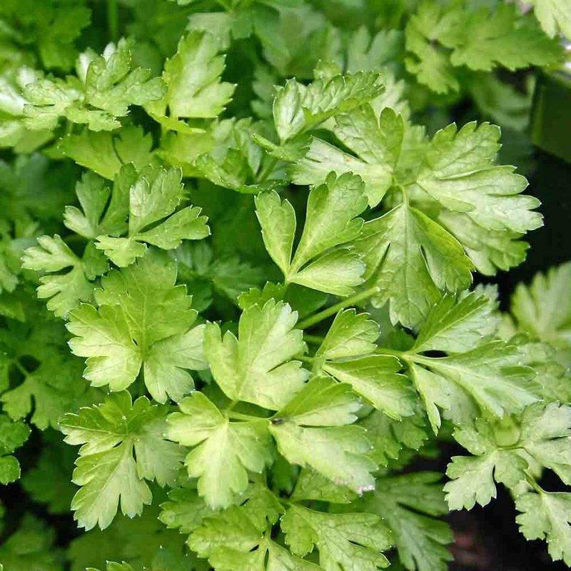 """Parsley Italian Flat Leaf 4.5"""""""