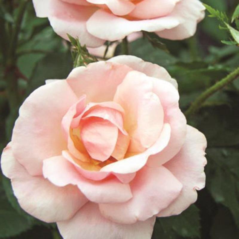 Rose KO Peachy 3