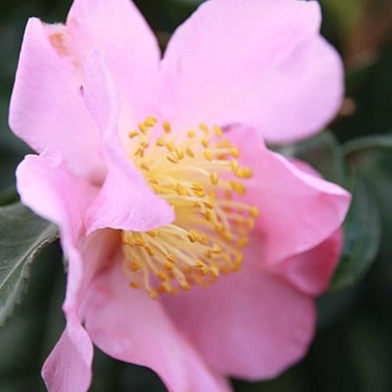 Camellia x Winter Star 5