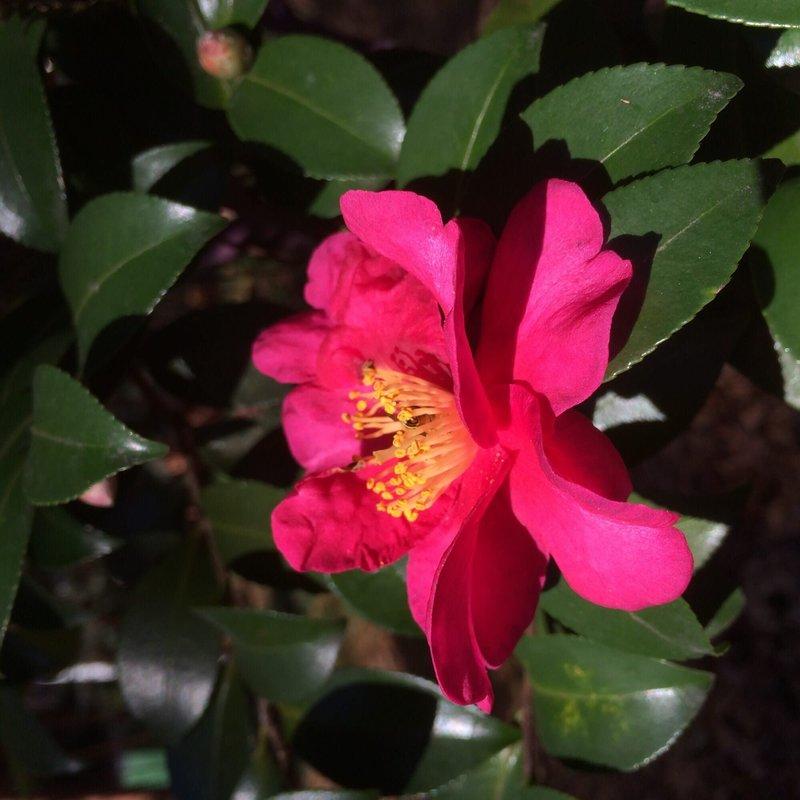 Camellia s Kanjiro 3