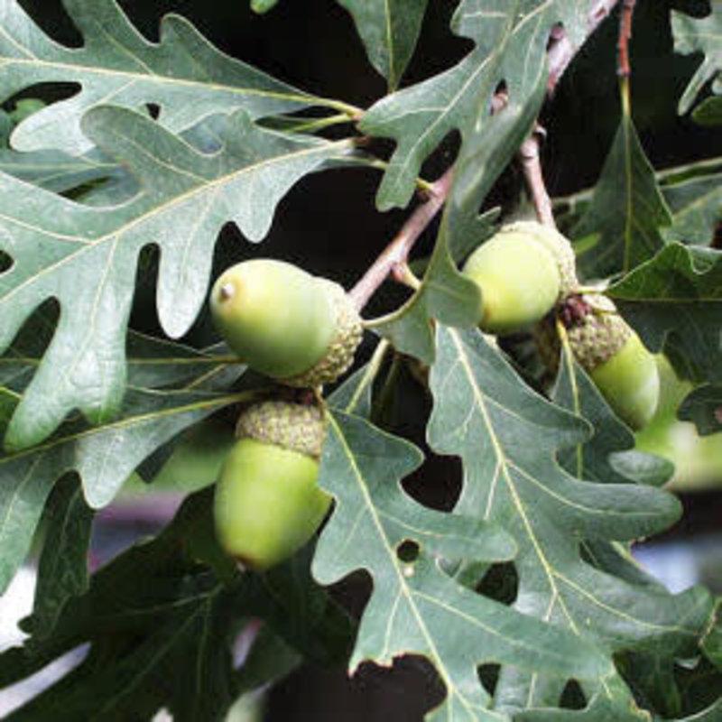 Quercus alba White Oak 3