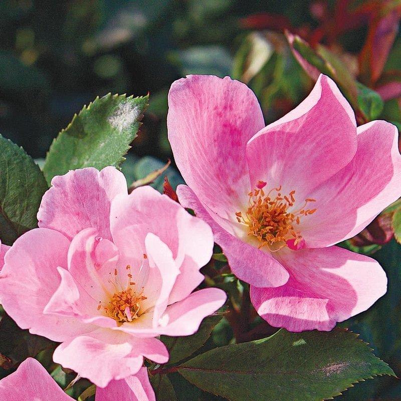 Rose KO Blushing 3