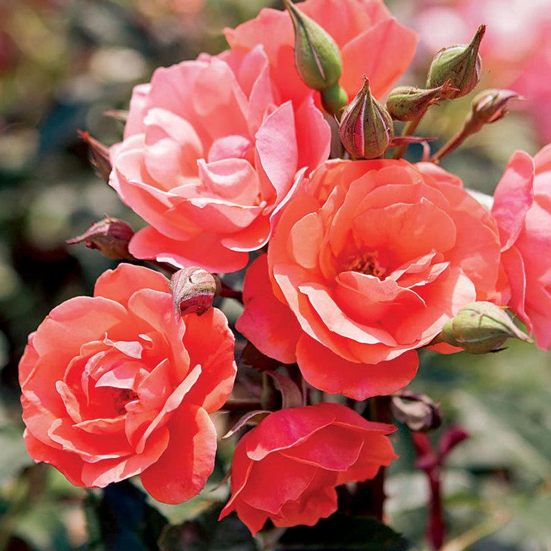 Rose KO Coral 3