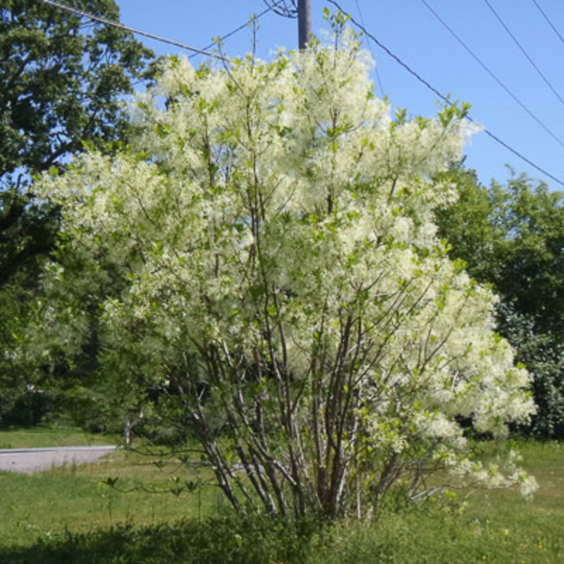 Chionanthus retusus Chinese Fringe Tree 7