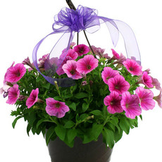 Two Blooming Hanging Baskets