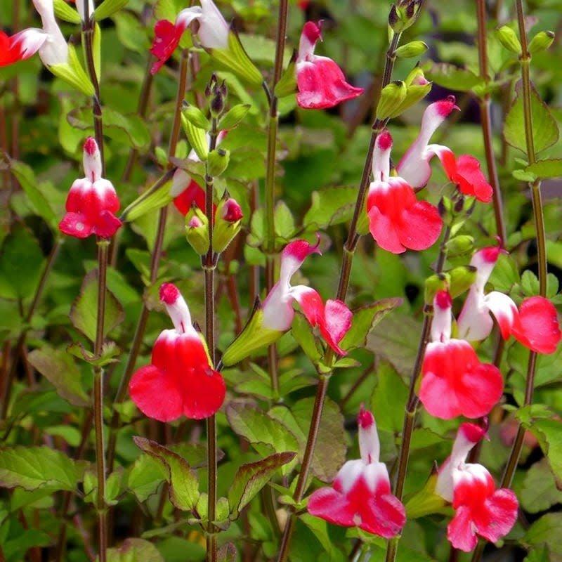 Salvia greggii Hot Lips qt