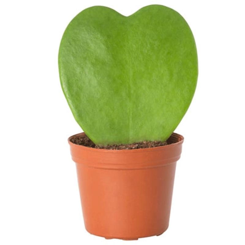 "Hoya Kerrii Heart 3"""