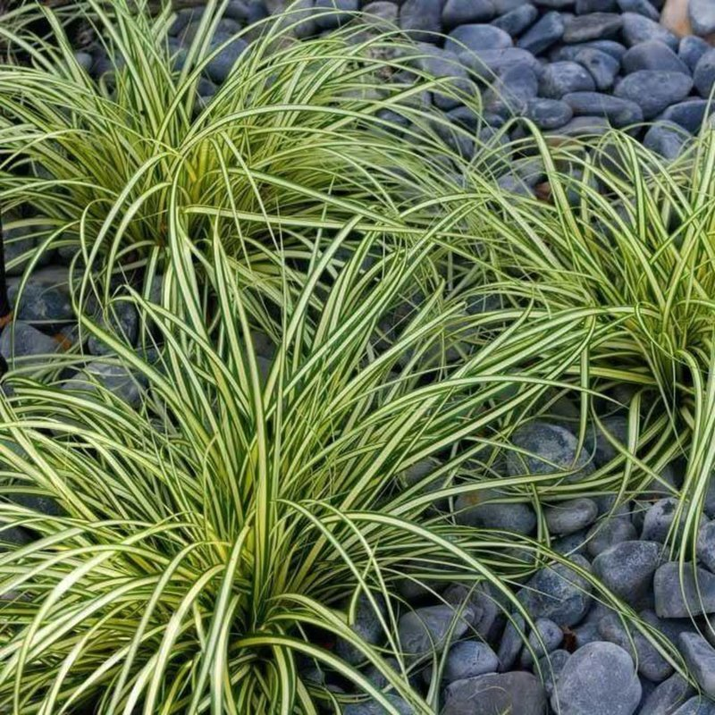 Carex Evergold 1 Premium