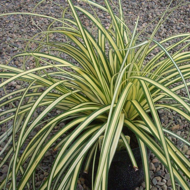 Carex Evergold Sedge qt
