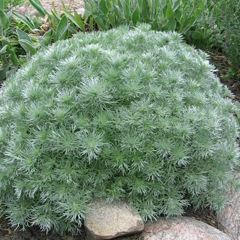 Artemisia Silver Mound qt