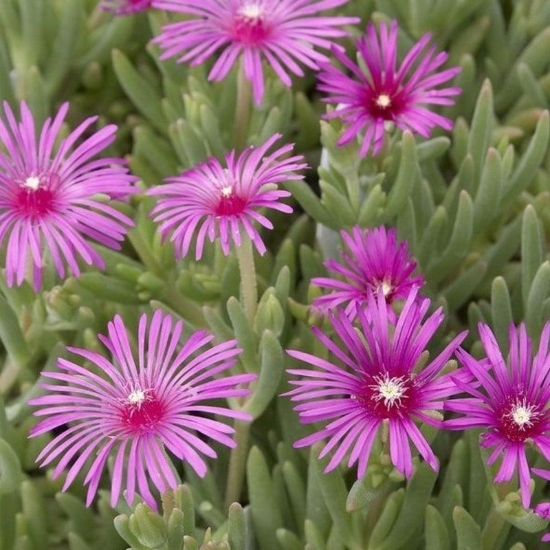 Delosperma cooperi Ice Plant qt