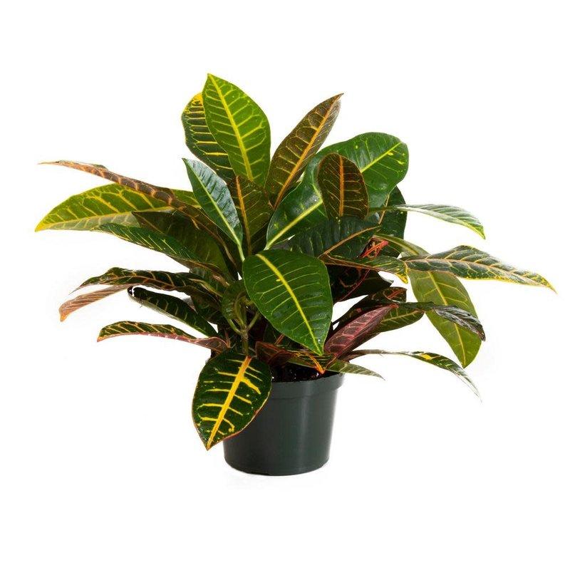 """Croton Petra 6"""""""