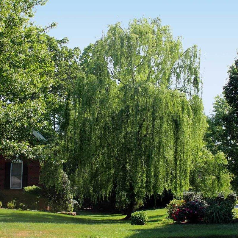 Salix b Weeping Willow 7