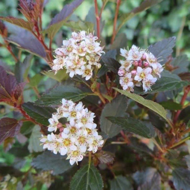 Physocarpus 'Little Joker' Ninebark 3