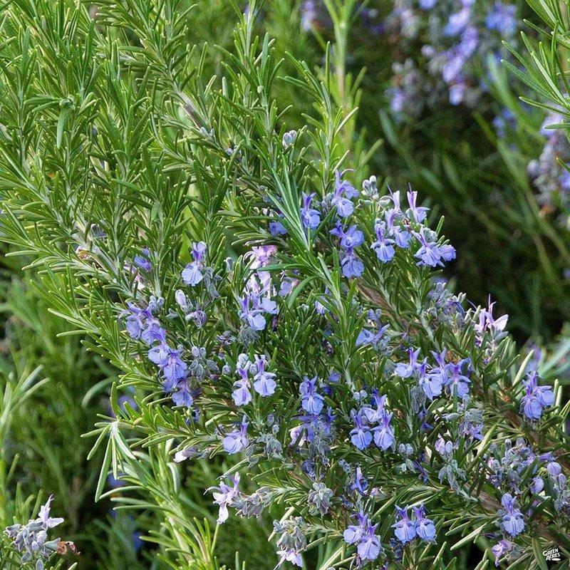 Rosemary Tuscan Blue 1