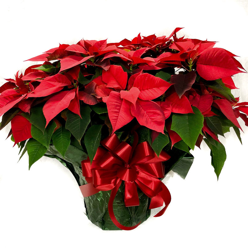 Large Red Poinsettia Gift