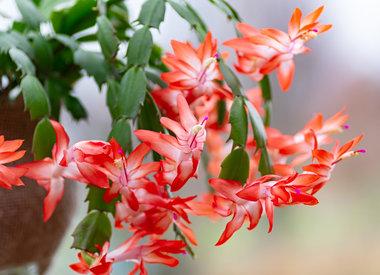 Poinsettias & Gift Plants