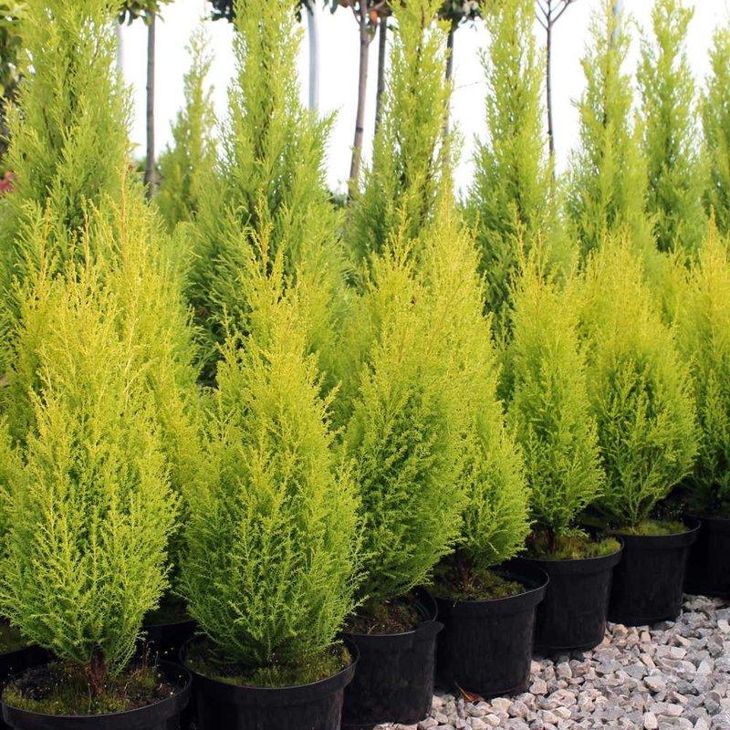 "Cypress, Goldcrest 4.5"""