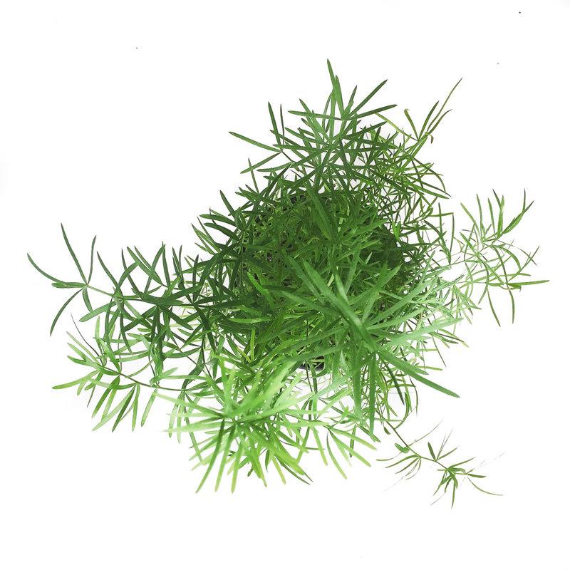 "Fern Asparagus 4"""