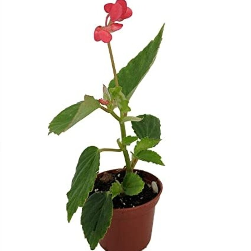 "Begonia dietrichiana 2.5"""