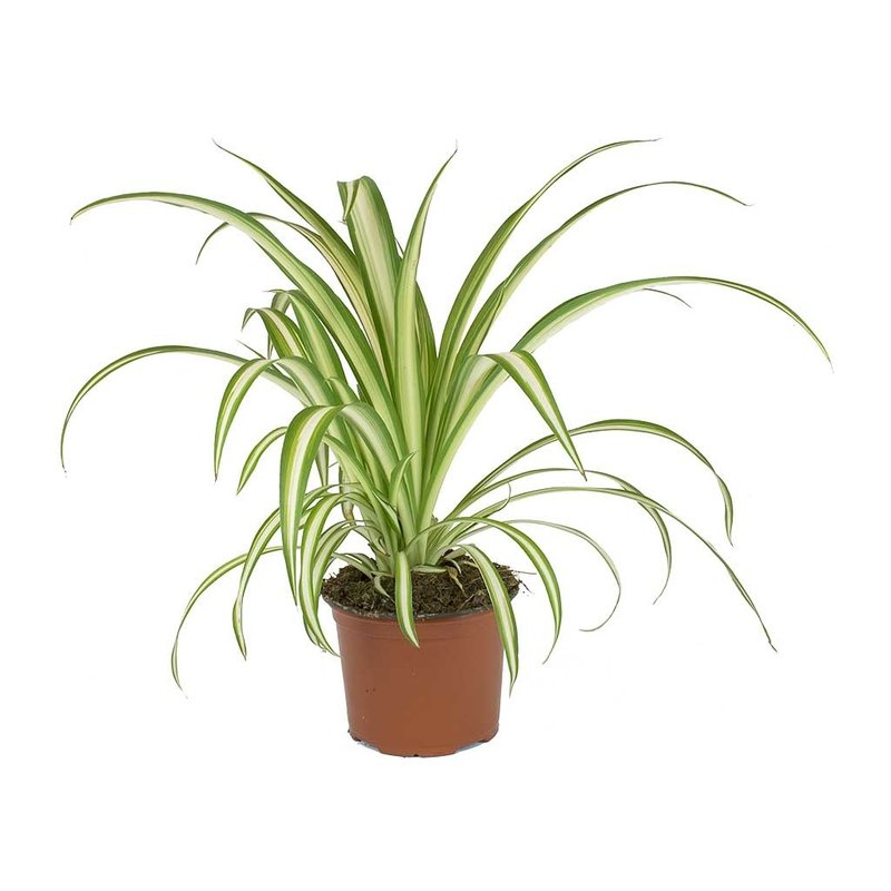 "Spider Plant 2"""