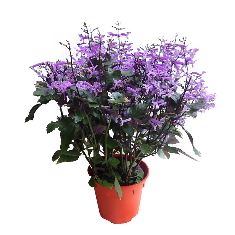 "Plectranthus Mona Lavender 4"""