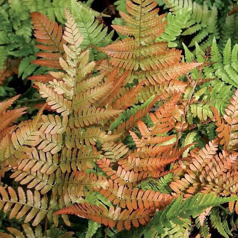 Dryopteris Brilliance Autumn Fern qt