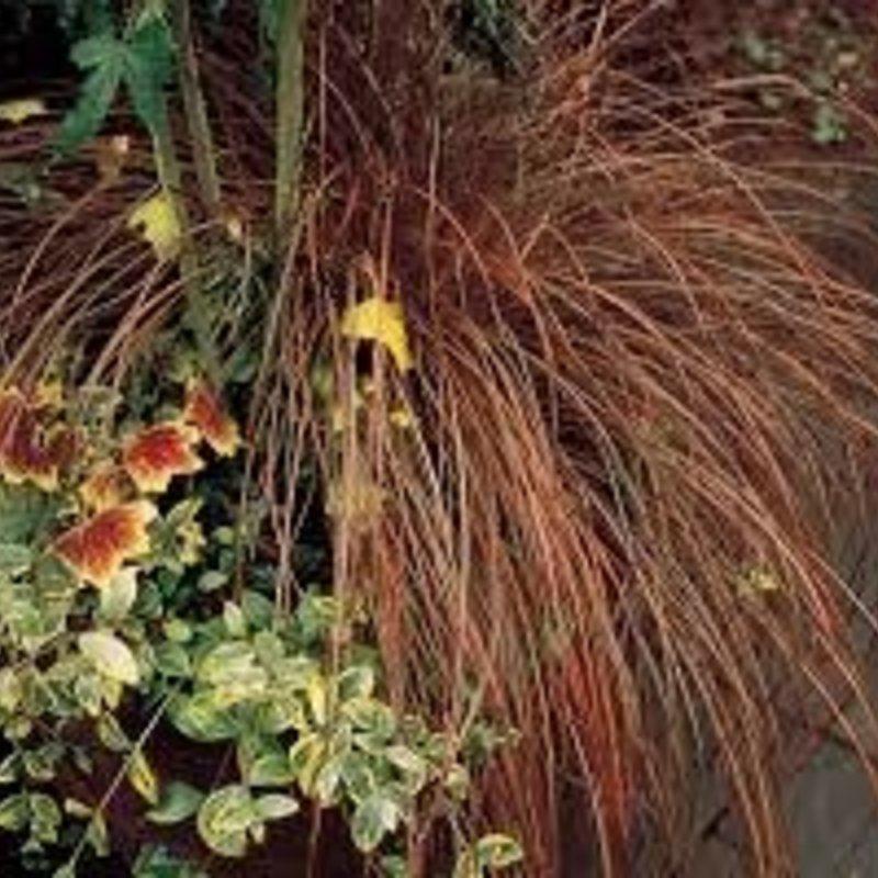 Carex Toffee Twist 1