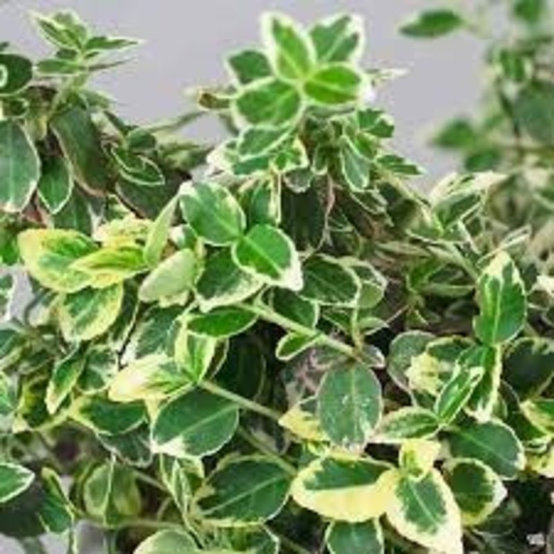 """Euonymus Gracilis 4"""""""