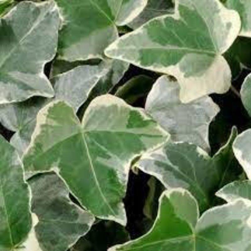 """Hedera Glacier Ivy 2.5"""""""
