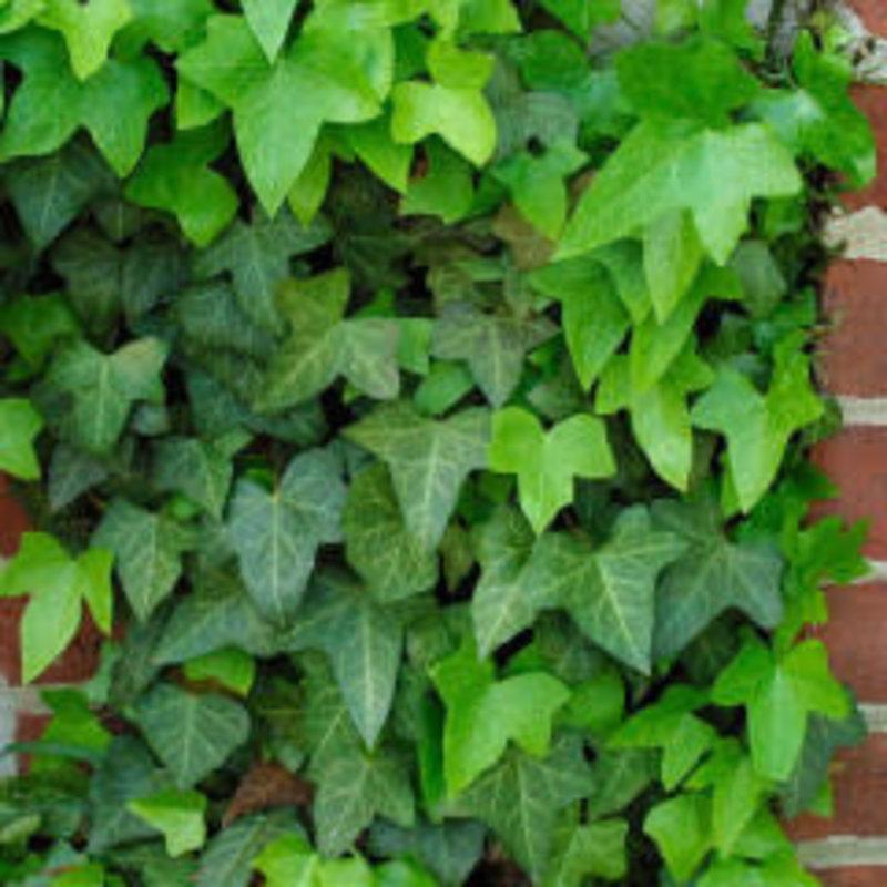 "Hedera English Ivy 3.5"""