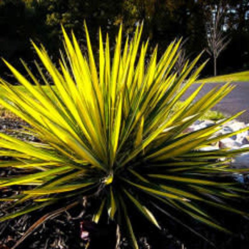 Yucca Color Guard qt