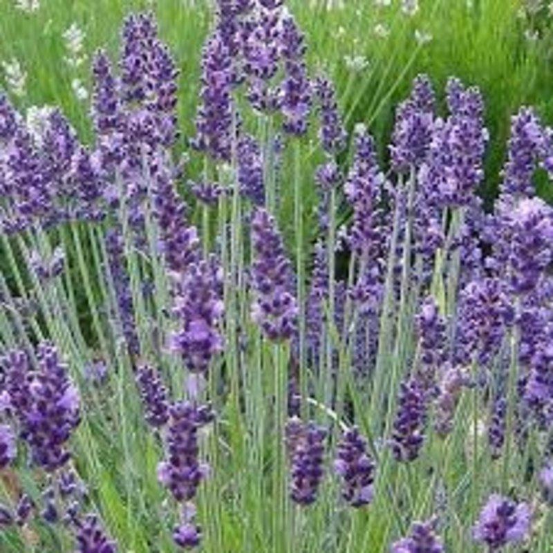 "Lavender Fred Boutin 6"""