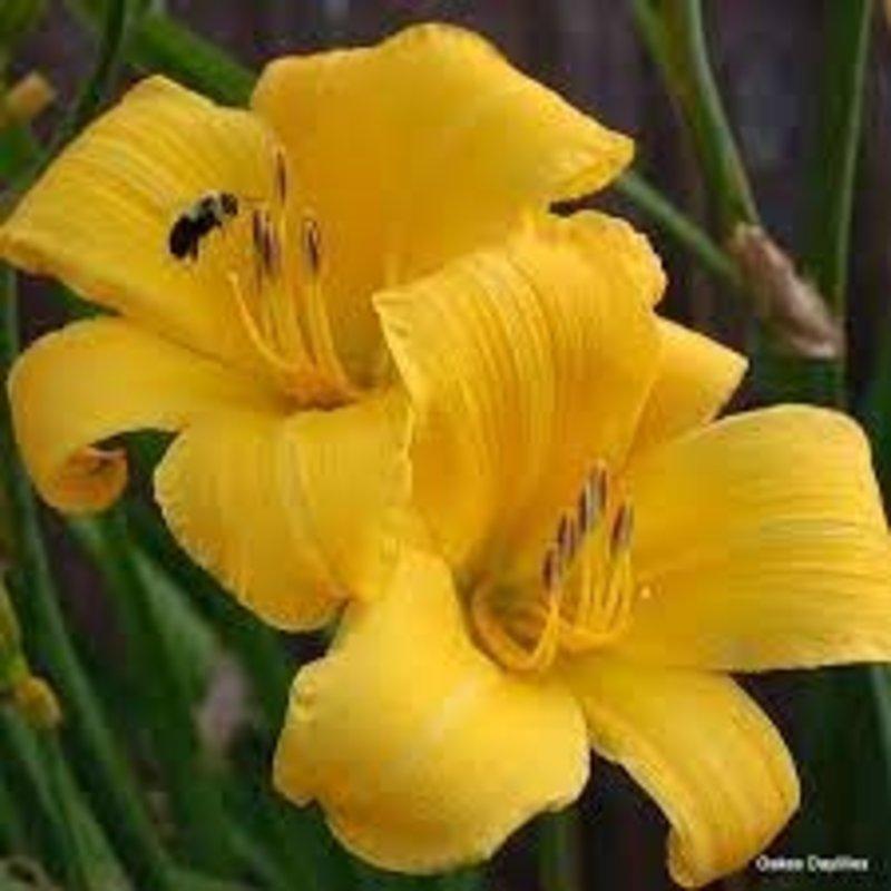 Hemerocallis Buttered Popcorn 1