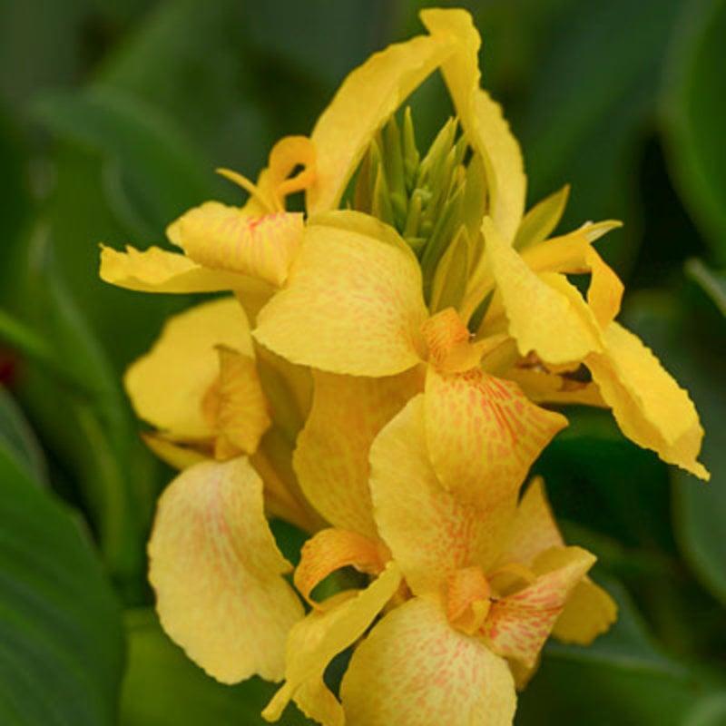 Canna Cannova Yellow 1