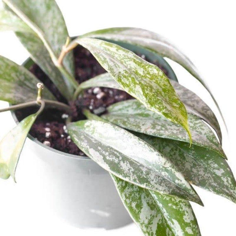 "Hoya Pubicalyx Speckled 4"""