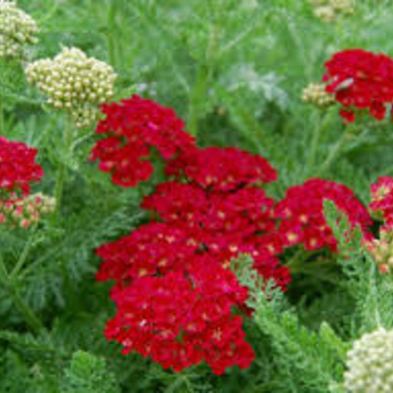 Achillea Pomegranate Yarrow 1