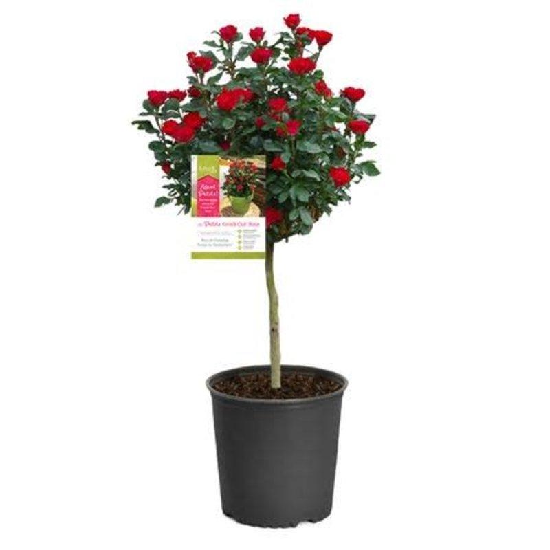 """Rose KO Petite Tree 24"""""""