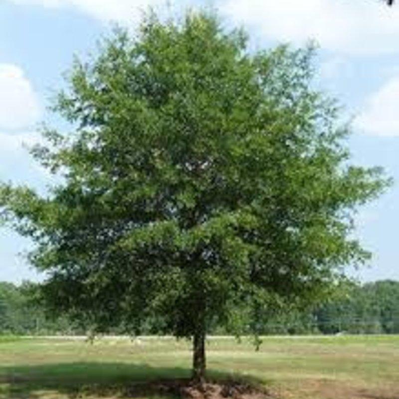Quercus phellos Willow Oak 15
