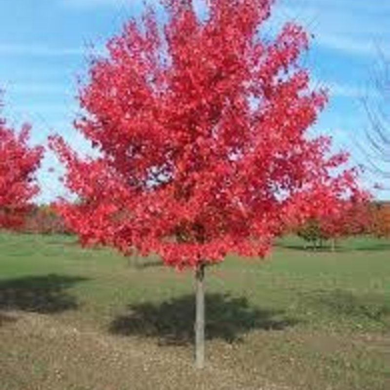 Acer Sun Valley Red Maple 7
