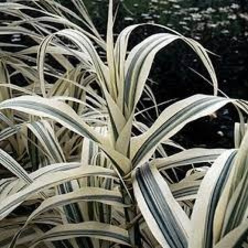Arundo Peppermint Stick Grass 600