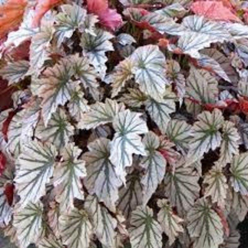 "Begonia Angel Wing Looking Glass 4.5"""