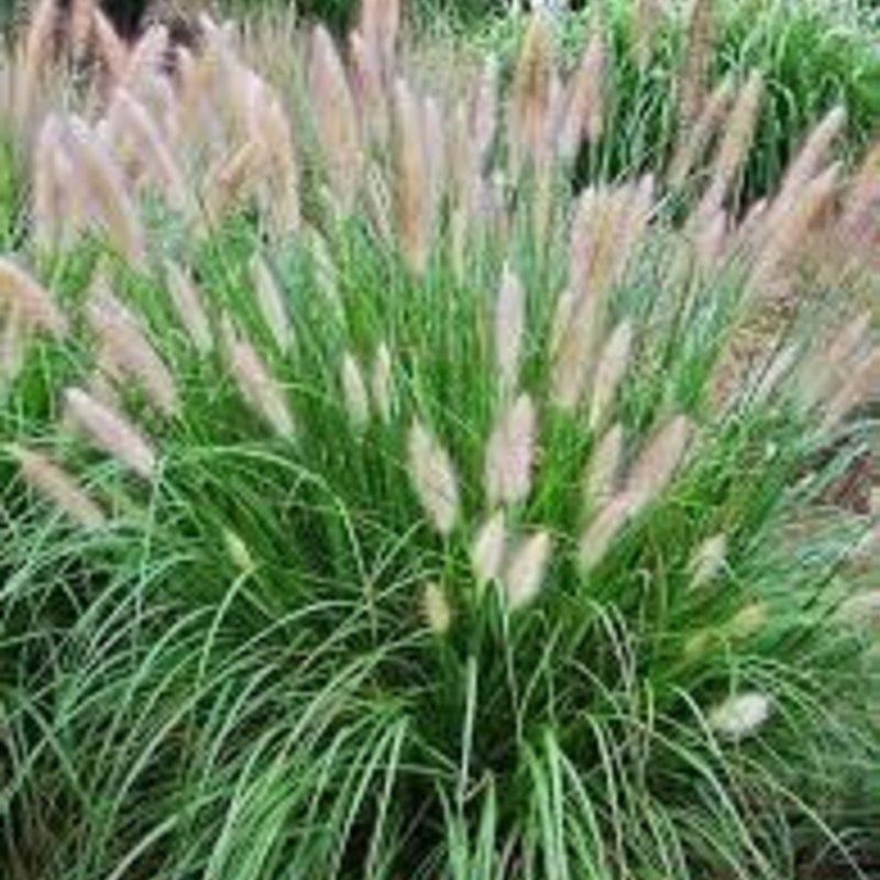 Pennisetum alopecuroides Fountain Grass 600