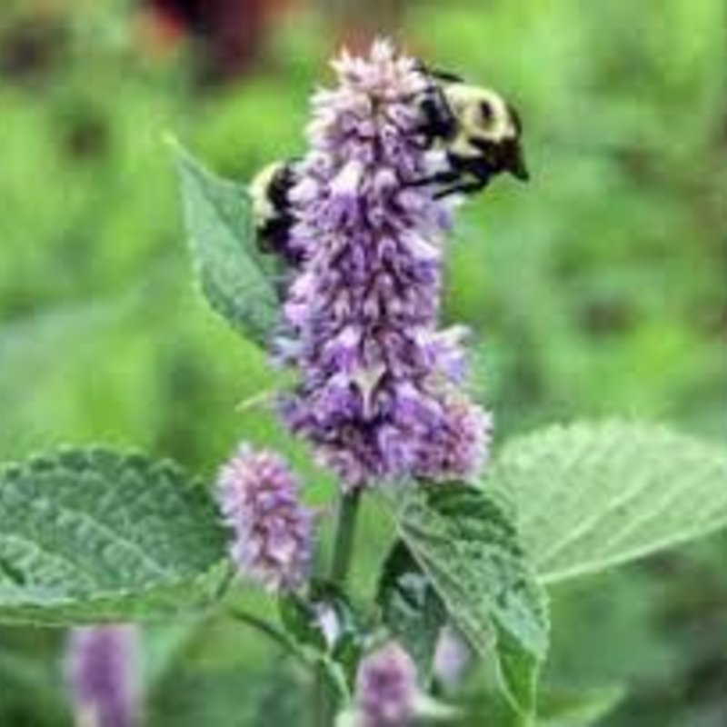 Agastache Honey Bee Blue 1