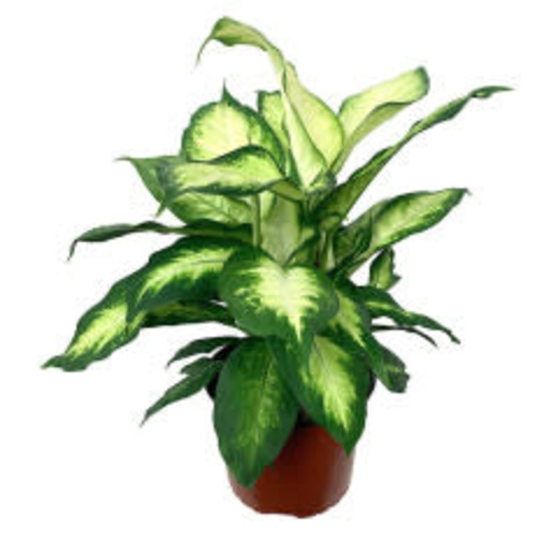 """Dieffenbachia maculata 6"""""""
